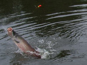 arapaima tail-walk fishing in thailand