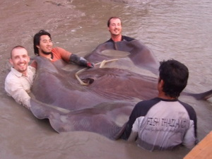 550lb freshwater stingray caught with Fish Thailand
