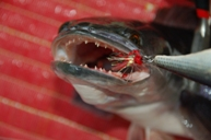 giant snakehead aggression