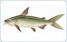 [Gambar: m2_giant_seacatfish.jpg]